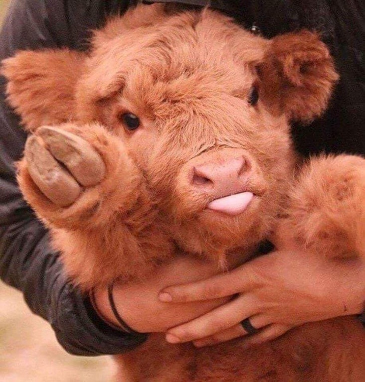 11 cows that are just too cute to say something