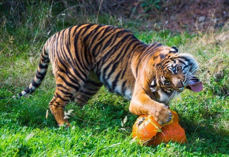 Tiger fotogen