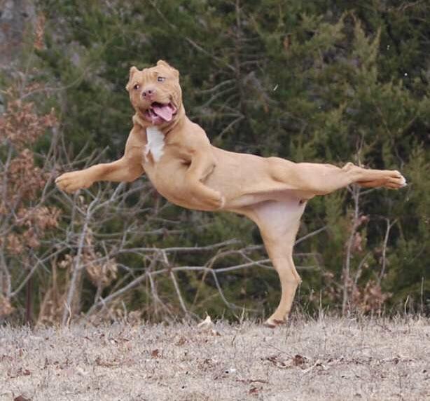 Hund Ballerina