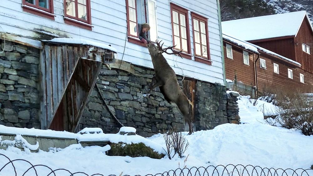 Hirsch am Fenster